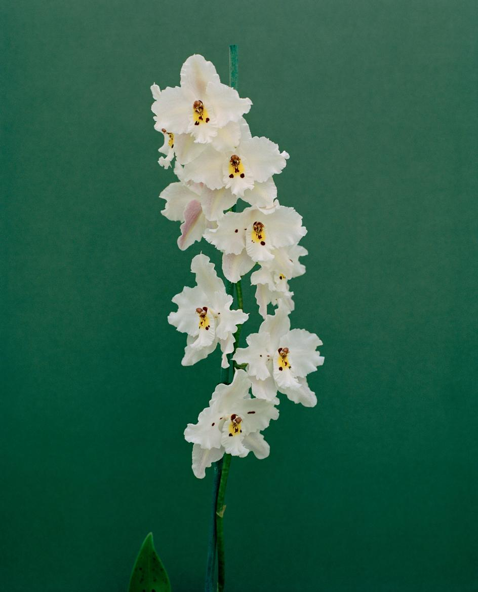 3_oncidium-alexandrae-stephanie