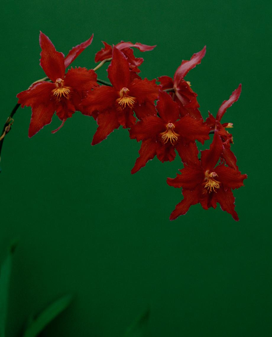 7_oncidium-trixon-var-lyoth-princess